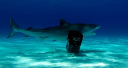 A tiger shark tries to swim off with the chum bucket during a recent Guy Harvey Ocean Foundation scientific expedition at Tiger Beach in the Bahamas. Photo courtesy of Bill Watts.