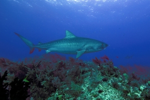 A Tiger Shark patrols a reef at Tiger Beach. Photo by Neil Hammerschlag.