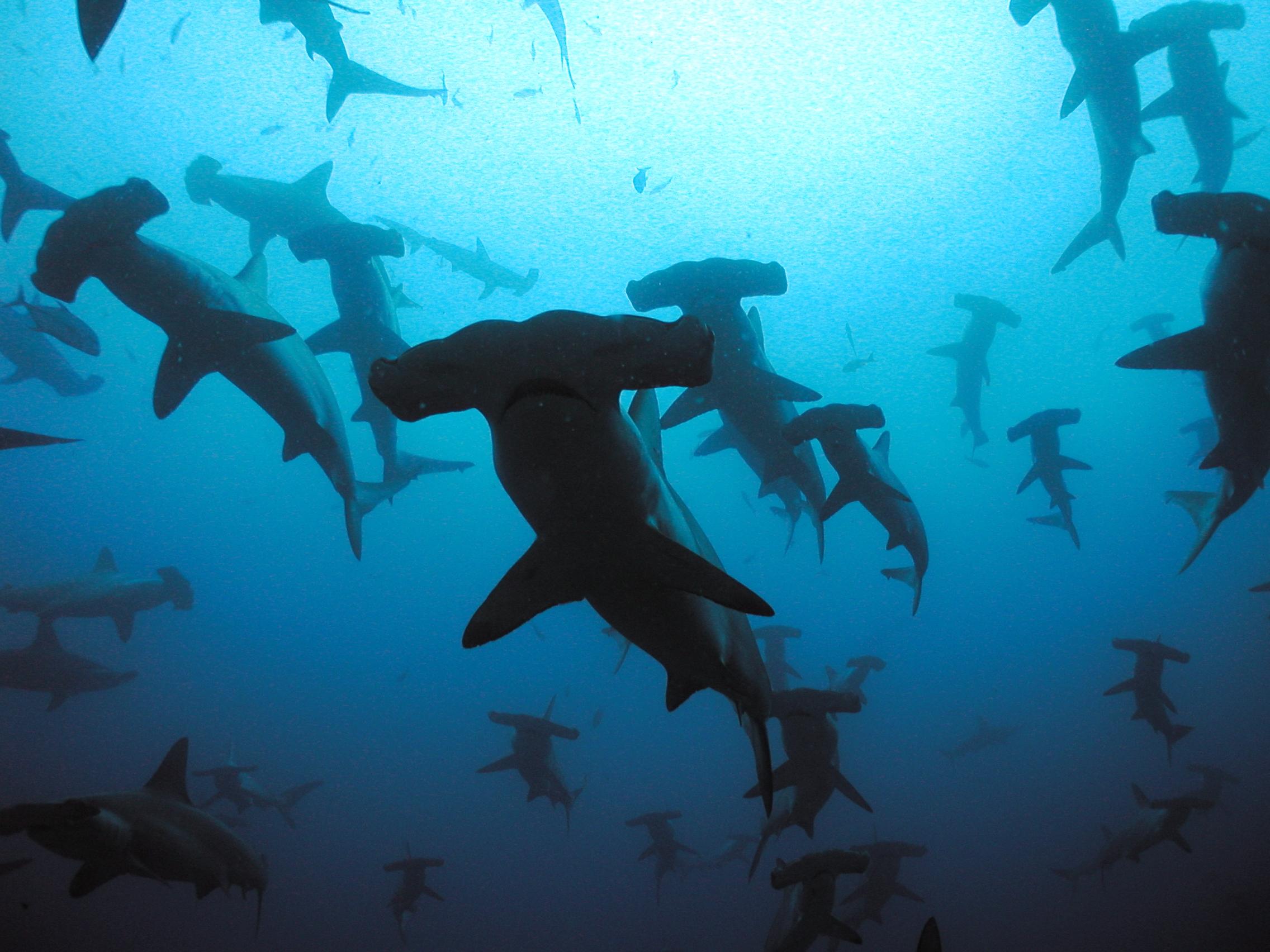 hammerhead shark portraits from the deep